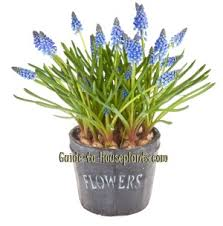 growing grape hyacinths muscari spp forcing hyacinth bulbs