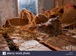 Rat, In Barn, Germany / (Rattus Norvegicus Forma Domestica Stock ... Farmer Saves Rat From Death In Her Own Barn Redwood Coast Aazk Rat Poison Alternatives Mouse Poop Droppings Victor The Chicken Chick 15 Tips To Control Rodents Around Coops Black Rattus Rattus Foraging Of Farm Stock Photo Barn Owl About Enter Its Nest Carrying A Dead For Young Nose Work Hunt 44094 Kangaroo Rats San Diego Zoo Institute Cservation Research Mice And New York The Barn Rat Blog Remains Found Within The Wall During