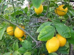 lemon tree fertilizer how to feed growing lemon trees