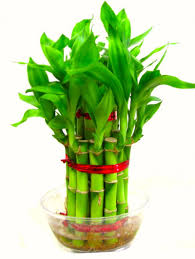 Plants In Bathroom Vastu by Feng Shui 2 Layer Lucky Bamboo Plant For Goodluck Premium Quality