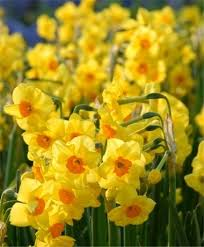 166 best daffy day dilley images on daffodils