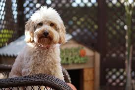 non shedding hypoallergenic hybrid dogs mixed breed dogs the 13 cutest mixed breed dogs