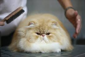 Excessive Hair Shedding In Cats by Black Scaly Patches With Hair Loss In Cats Pets