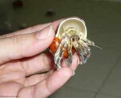 Do Hermit Crabs Shed Their Body by Clemetine U0027s First Ever Molt For The Love Of Hermit Crabs