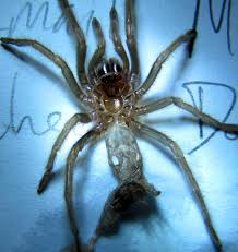 Do Tarantulas Shed Their Fangs by The World U0027s Most Recently Posted Photos Of Brachypelma And Molt