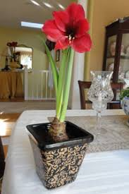 how to grow amaryllis bulbs indoors today s homeowner