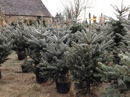 Christmas Trees Types Uk by Spruce Christmas Tree Potted