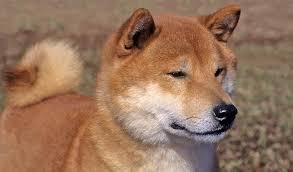 Do Shibas Shed A Lot by Shiba Inu Dog Breed Information