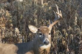 Deer Antler Shedding Cycle by Dr Deer Deciphering Shed Antler Intel North American Whitetail