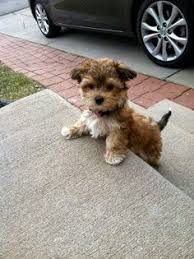 Short Haired Dogs That Shed The Most by Small Dog Mixed Breeds That Don U0027t Shed Tap The Pin For The Most