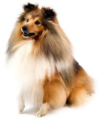 Sheltie Shedding Puppy Coat by Grooming The Coat Of Your Sheltie Dog Grooming Tutorial