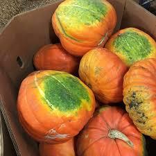 Atlantic Giant Pumpkin Taste by Big Mac Pumpkin Information And Facts