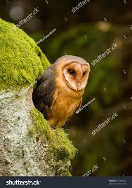 Barn Owl Tyto Alba Sitting On Stock Photo 76700443 - Shutterstock Barn Owl Perching On A Tree Stump Facing Forward Stock Photo The Owls Of Australia Australian Geographic Audubon Field Guide Beautiful Perched 275234486 Barred Owl Vs Barn Hollybeth Organics Luxury Skin Care Why You Want Buddies Coast News Group Sleeping By Day Picture And Sitting Venezuela 77669470 Shutterstock Rescue Building Awareness Providing Escapes And Photography Owls Owlets At Charlecote Park Barnaby The Ohio Wildlife Center