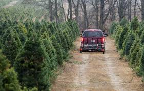 Pinecrest Christmas Tree Farm by Cutting Down Real Christmas Trees Still Popular Local