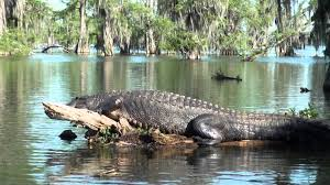 alligator bayou lake update louisiana alligator at lake martin la