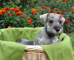caring for a miniature schnauzer
