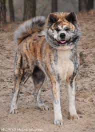 Do Akita Dogs Shed Hair by Kai Ken Canada Google Search Dog Jackets Pinterest Google