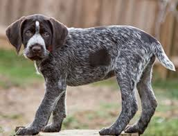 Griffon German Wirehaired Pointer Shedding by Deutsch Drahthaar Temperament Health Training Names U0026 Grooming
