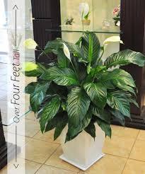 Spirit Halloween Sarasota Hours by Peace Lily Large Plants U2013 Peace Lily U2013 Potted Plant U2013 Beneva