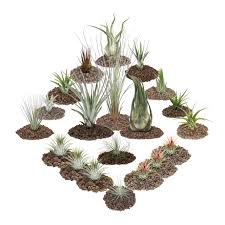 1 tillandsien set mit 20 pflanzen inclusive 3 real de