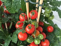 Types Of Pumpkins Grown In Uganda by Eggplant Planting Growing And Harvesting Eggplant The Old