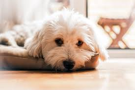 Excessive Hair Shedding In Dogs by Petmeds Managing Eye Discharge Mucus In Dogs And Cats Petmeds