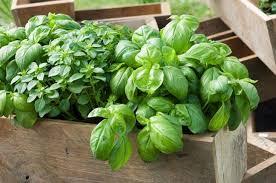 cultiver le basilic en pot