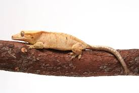 Crested Gecko Shedding Help by Which Gecko Species Is Right For You