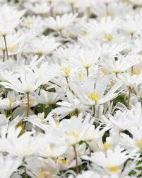 anemone blanda white splendour bulbs buy at farmer gracy uk