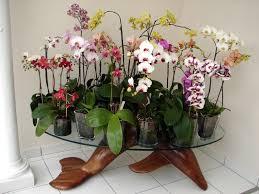 les beaux phaleanopsis en pot de verre de ré allez voir
