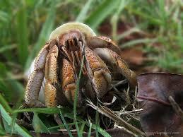 Halloween Hermit Crab by Australian Land Hermit Crab Wikipedia