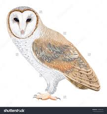 Top 86 Barn Owl Clipart - Free Clipart Image Barn Owl Facts About Owls The Rspb Bto Bird Ring Demog Blog October 2014 Chouette Effraie Lechuza Bonita Sbastien Peguillou Owl Free Image Peakpx Wikipedia Barn One Wallpaper Online Galapagos Quasarex Expeditions Hungry Project Home Facebook Free Images Nature White Night Animal Wildlife Wild Hearing Phomenal Of Nocturnal Wildlife Animal Images Imaiges