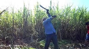 Cuba Sugarcane Fields Part 2