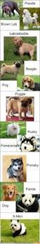 Do Pugs And Puggles Shed by Best 20 Puggle Puppies Ideas On Pinterest Pug Beagle Mix Types