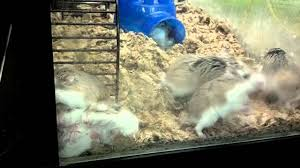 Crazy Robo Dwarf Hamsters At Pet Store (Pet Supermarket) - YouTube 5 In 1 Paw Patrol Roll Mega Track Lookout Tower Dog Dogsmom Exploring The Blogosphere Unboxing Paw Patrol Roll Rockys Barn Rescue And Play Fun The Barn Spider Fun Animals Wiki Videos Pictures Stories Hasbros Realistic Joy For All Companion Pet Dog Page Qvccom Steven Universe Back To Episode Recap Point Of A Transporter Problems With Patroller Blocks Robo Jeanne Wilkinson May 2014 Best 25 Products Ideas On Pinterest Collars Leashes Owners Reminded Vaccinate Cats After Dover Cases Of Feline