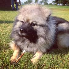Dogs That Dont Shed Keeshond by Keeshond Breed Of The Week Jones Natural Chews