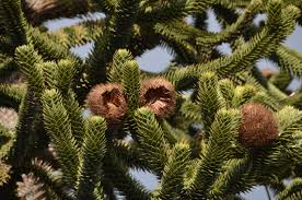 Silvertip Fir Christmas Tree by Free Images Branch Winter Bloom Evergreen Botany Fir