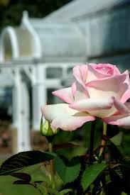 Rose Bloom Out – Bellingrath Gardens & Home