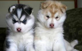 do huskies or malamutes shed more 4 questions to ask before purchasing a pomsky pomsky