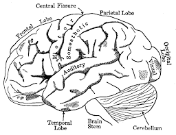 Brain Anatomy Coloring Pages To Print Human And Physiology Book