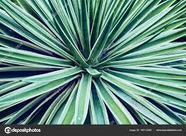 100 Natural Geometry Cactus Aloe Vera Closeup Natural Background The