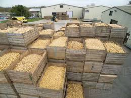 Stacked Crates Of Fresh Harvested Potatoes Outside Warehouse Royalty Free Stock Photo