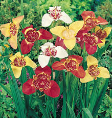 mexican shell flowers tigridia 25 bulbs