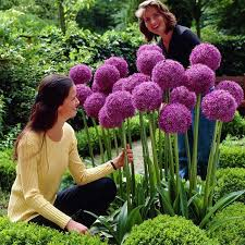 buy allium globemaster bulbs in ireland next day