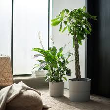 pachira aquatica pflanze glückskastanie heute noch