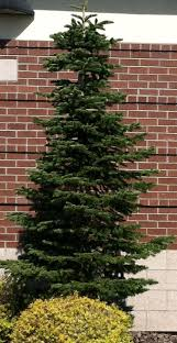 Nordmann Fir Christmas Tree by 16 Best City Floral Christmas Tree Varieties Images On Pinterest