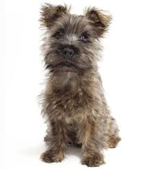 Small Dogs That Dont Shed by Small Dog Breeds That Don U0027t Shed