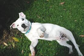 Dogs That Dont Shed Or Bark by Bark Busters Breed Of The Month The Staffordshire Bull Terrierr
