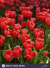 washington tulips in formal bulb garden in the skagit valley