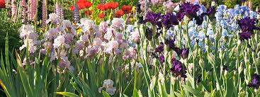 all about irises